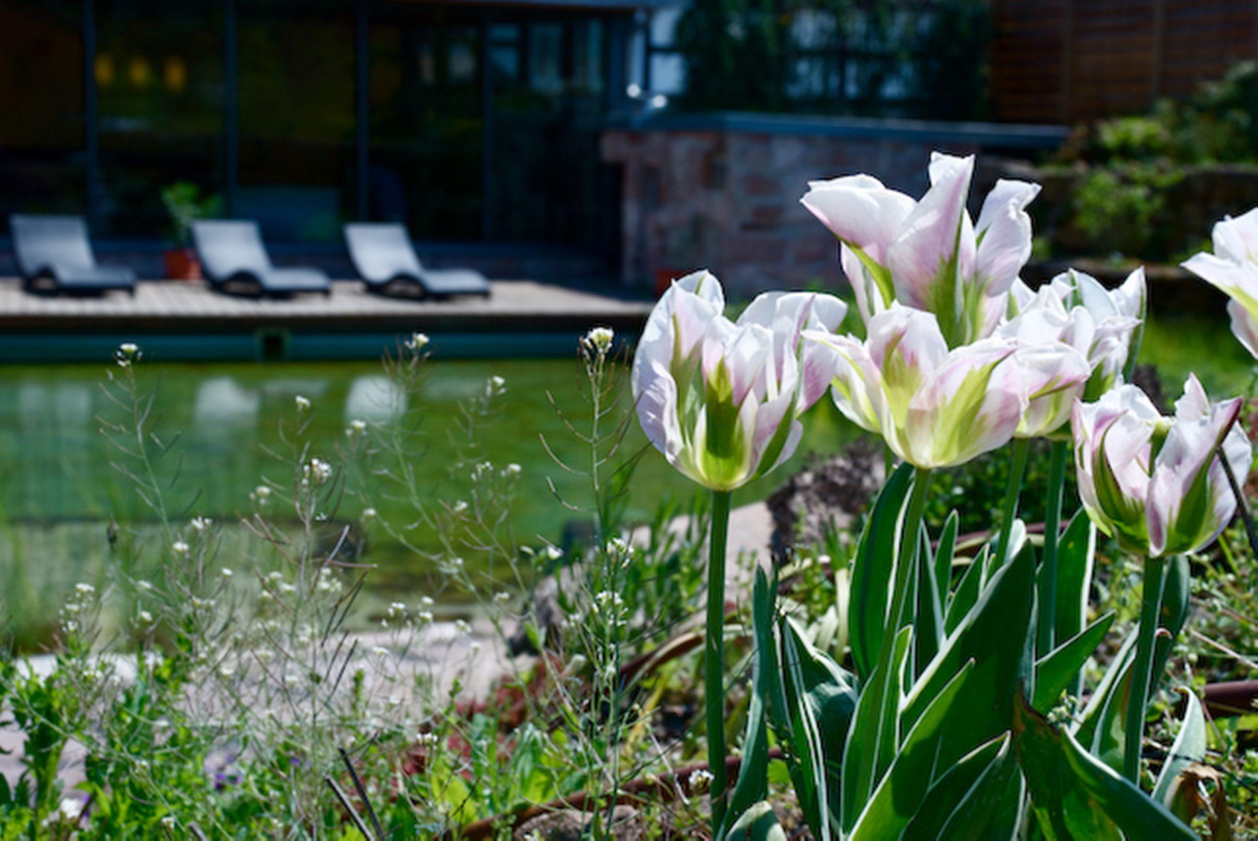 Tulpen am Teich